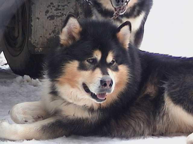 Image result for Phaeomelanin dog color