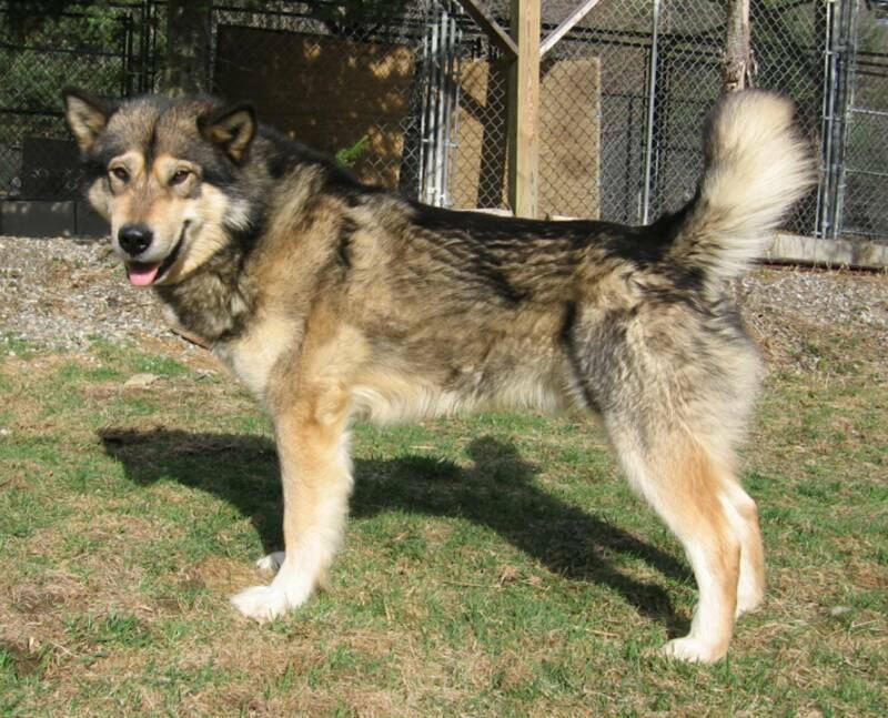 If you own or have ever owned a WOLF HYBRID, please help! - Page 7 ...